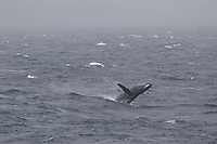 Humpback whale Megaptera novaeangliae breaching in stormy seas, South orkney islands, Scotia sea, Southern ocean, Antarctica
