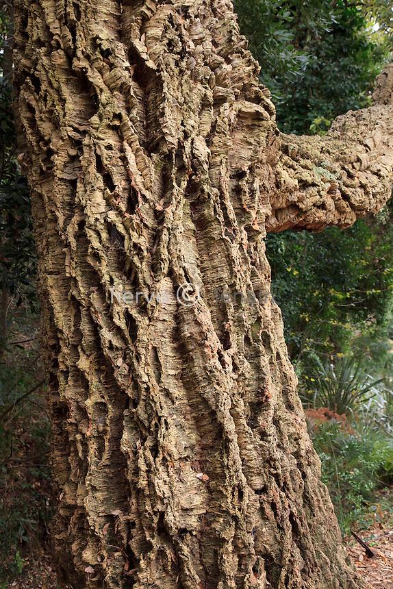 Domaine du Rayol en novembre : écorce de chêne-liège (Quercus suber)