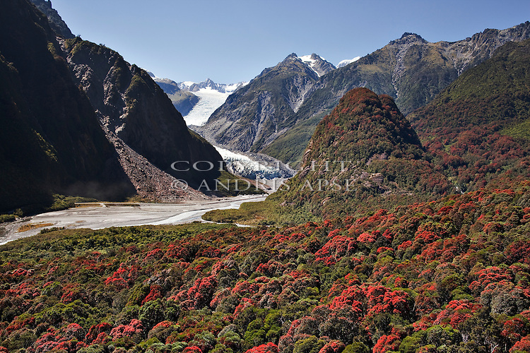 Rata trees in flower with Fox Glacier in background in Westland National Park. New Zealand.