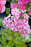 Striped flowers of Phlox paniculata Peppermint Twist