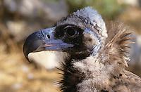 Mönchsgeier, Portrait, Mönchs-Geier, Geier, Aegypius monachus, black vulture, Monk Vulture, Cinereous Vulture