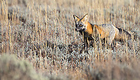 This young cross fox was seen consistently for several days in the Grand Tetons.  Cross foxes are red foxes with blacking and silver fur.