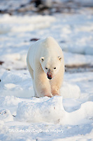 01874-11920 Polar Bear (Ursus maritimus) in winter, Churchill Wildlife Management Area, Churchill, MB Canada
