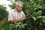 Foto: VidiPhoto<br /> <br /> SLIJK-EWIJK - Pruimenteler Frederik Bunt inspecteert dinsdag de vruchten aan zijn pruimenbomen in zijn boomgaard in Slijk-Ewijk (Betuwe). Door de nachtvorst van enkele weken geleden is vrijwel zijn gehele oogst verwoest. Naar verwachting resteert nog maar 20 procent van de oogst. Normaal groeien er 20 pruimen op 1 meter, nu zijn dat er slechts twee.