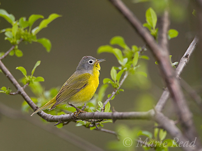 Nashville Warbler (vermivora ruficapilla), male singing in spring, New York, USA