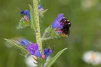 Wiesenhummel, Wiesen-Hummel, Hummel, Weibchen, Blütenbesuch an Natternkopf, Natternzunge, Echium vulgare, Bombus pratorum, Pyrobombus pratorum, early bumble bee, early bumblebee, early-nesting bumblebee, female, le bourdon des prés