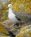 THE ISLES OF SCILLY SEABIRD RECOVERY PROJECT. LESSER BLACK- BACKED GULL CHICKS HATCHING ON THE ISLAND OF GUGH.<br /> 17/06/2015. PHOTOGRAPHER CLARE KENDALL.