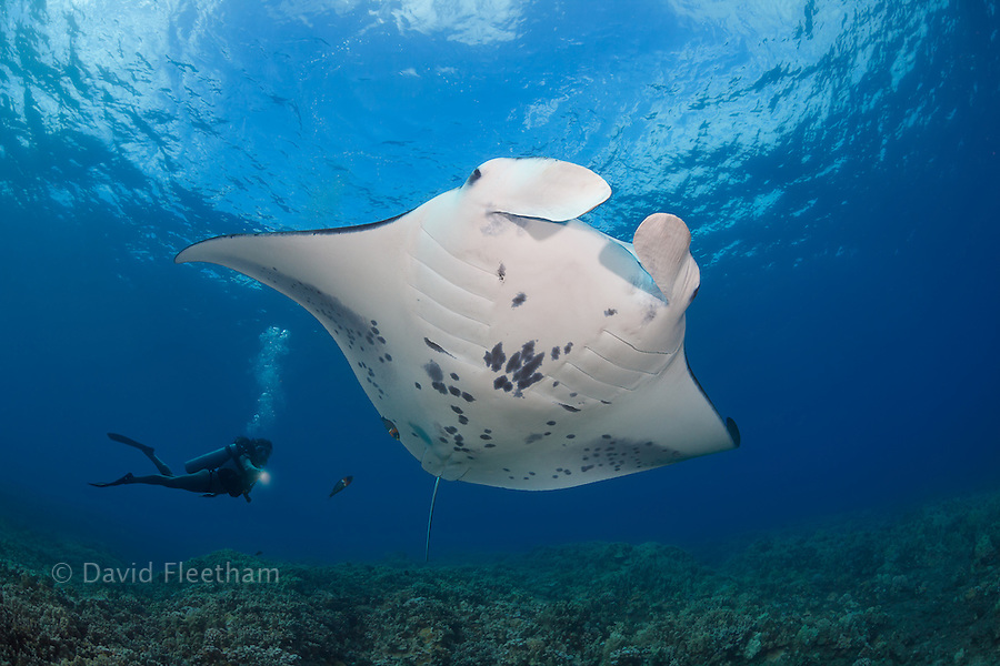 A reef manta ray, Manta alfredi, cruises over a shallow coral reef off West Maui, Hawaii. The diver is model released.