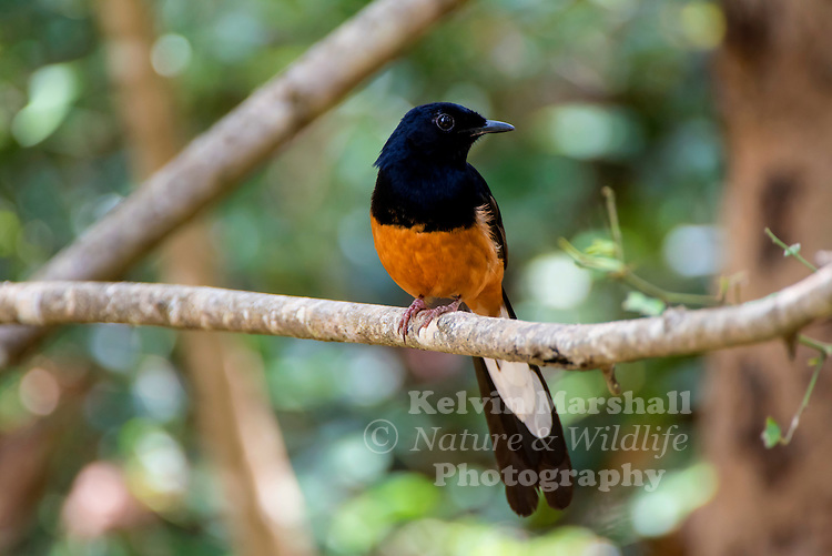 White-rumped shama (Copsychus malabaricus) is a small passerine bird of the family Muscicapidae. Native to densely vegetated habitats in the Indian subcontinent and Southeast Asia, its popularity as a cage-bird and songster has led to it being introduced elsewhere. Habarana - Sri Lanka.