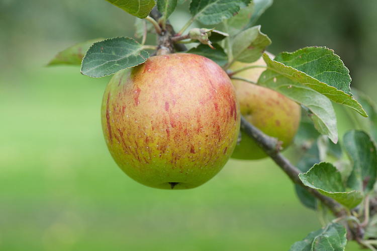 Apple 'Ellison's Orange', mid September. An English dessert apple with a slight aniseed taste. Bred in Lincolnshire by Rev. C. C. Ellison at the beginning of the 20th century.