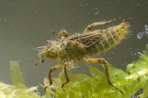 Broad-bodied Chaser Dragonfly larvae - Libellula depressa