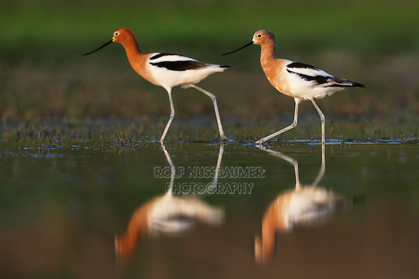 American Avocet (Recurvirostra americana), pair walking, Dinero, Lake Corpus Christi, South Texas, USA