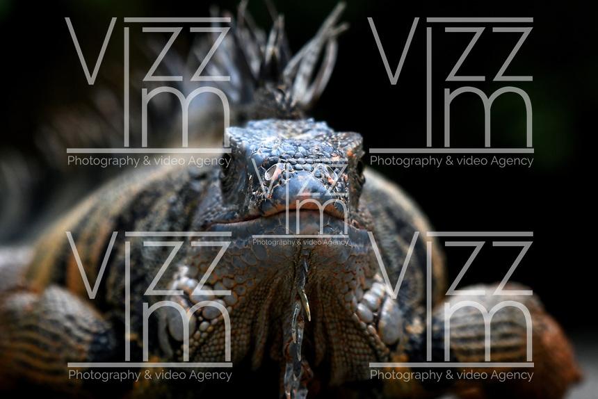 CALI - COLOMBIA - 27 - 09 - 2017: Iguana (Iguana Iguana), especie de reptil, en el Zoologico de Cali, en el Departamento del Valle del Cauca.  / Iguana (Iguana Iguana), reptile species, in the Zoological Park of Cali, in the Department of Valle del Cauca. / Photo: VizzorImage / Luis Ramirez / Staff.