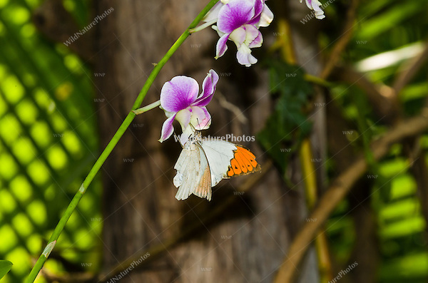 A  Great Orange Tip butterfly (Hebomoia glaucippe) feeding on an orchid. (Cambodia)