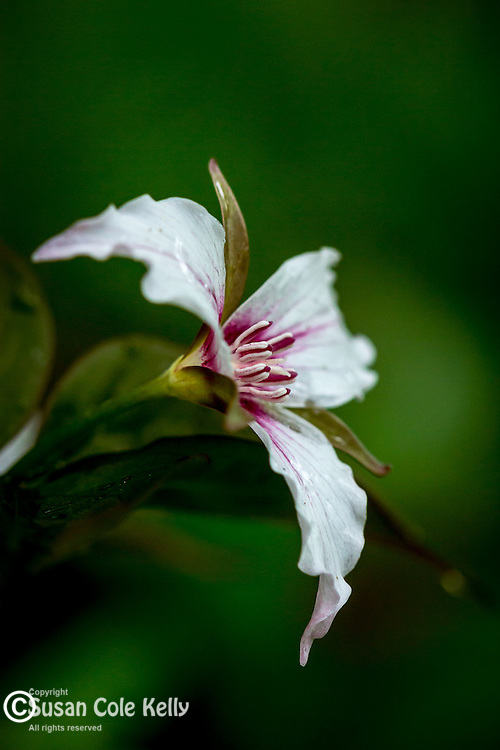 Painted Trillium (Trillium undulatum) in the Bangor City Forest, Bangor, Maine, USA