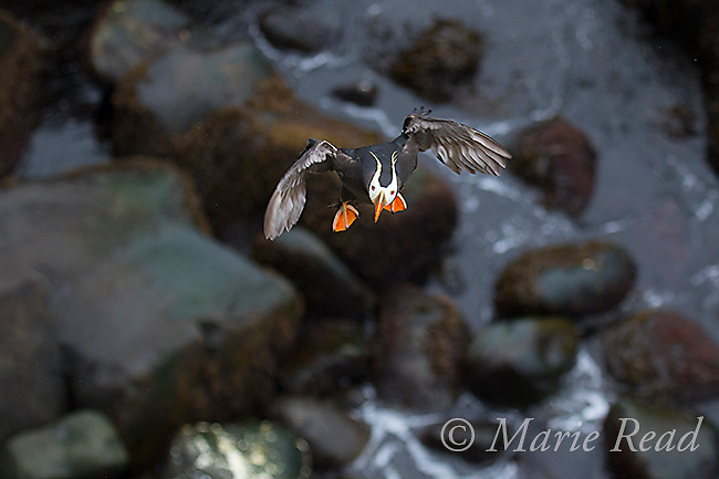 Tufted Puffin (Fratercula cirrhata) adult in breeding plumage, flying up toward viewer, about to land, St. Paul Island, Pribilofs, Alaska, USA