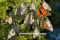 03536-05209 Monarch butterflies (Danaus plexippus) roosting in Eastern Red Cedar tree (Juniperus virginiana),  Prairie Ridge State Natural Area, Marion Co., IL
