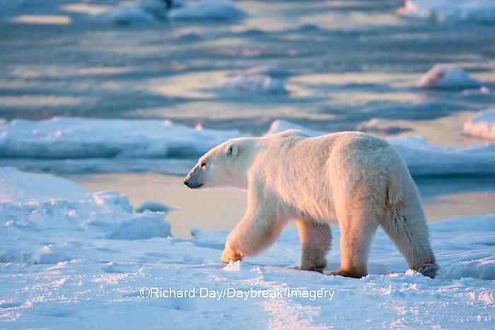 01874-12007 Polar Bear (Ursus maritimus) walking along Hudson Bay in winter, Churchill Wildlife Management Area, Churchill, MB Canada