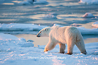 01874-12007 Polar Bear (Ursus maritimus) walking along Hudson Bay in winter, Churchill Wildlife Management Area, Churchill, MB Canada