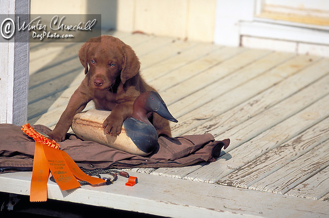 chessapeake bay retriever Shopping cart has 3 Tabs:<br /> <br /> 1) Rights-Managed downloads for Commercial Use<br /> <br /> 2) Print sizes from wallet to 20x30<br /> <br /> 3) Merchandise items like T-shirts and refrigerator magnets