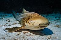 Zebra shark, Stegostoma fasciatum, Ko Tachai, Mu Ko Similan National Park, Similan Islands, Thailand, Andaman Sea, Indian Ocean