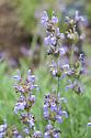 Salvia officinalis var. minor (Small sage), mid May.