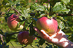 Aplenfire Organic Hard Cider, Alpenfire Orchard, apple trees, Port Townsend, Washington State, organic farms,