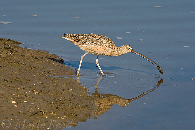Long-billed Curlew (Numenius americanus), foraging, capturing a shellfish, Bolsa Chica Ecological Reserve, California, USA