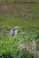 0111-0921  Great Blue Heron, Ardea herodias © David Kuhn/Dwight Kuhn Photography