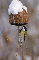 Kohlmeise an der Vogelfütterung, Fütterung im Winter bei Schnee, an mit Fettfutter gefüllten Hälfte einer Kokosnuss, selbstgemachtes Vogelfutter, Winterfütterung, Kohl-Meise, Meise, Parus major, great tit