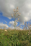 Israel, Shephelah. Common Asphodel flowers near Tel Zafit