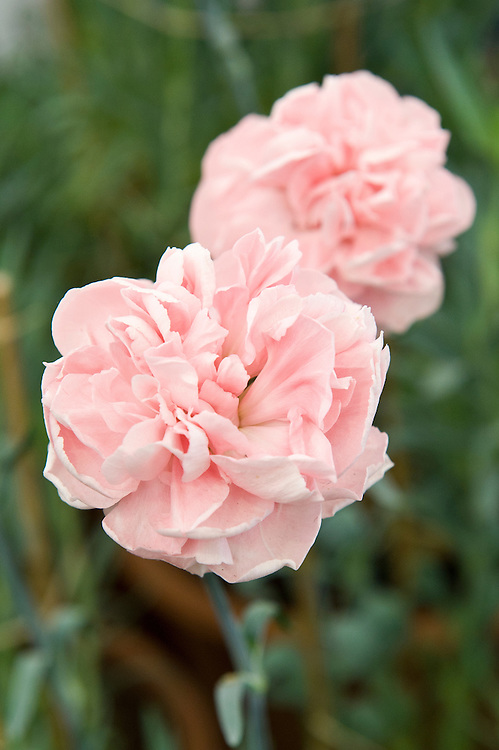 Dianthus 'Duchess of Westminster', a malmaison carnation or garden pink.