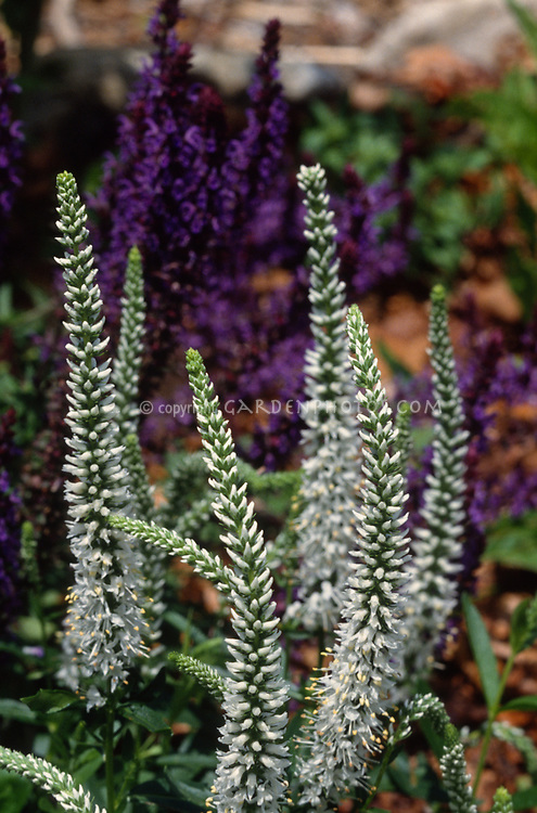 Veronica Longifolia White Giantess With Purple In Background Sdwell