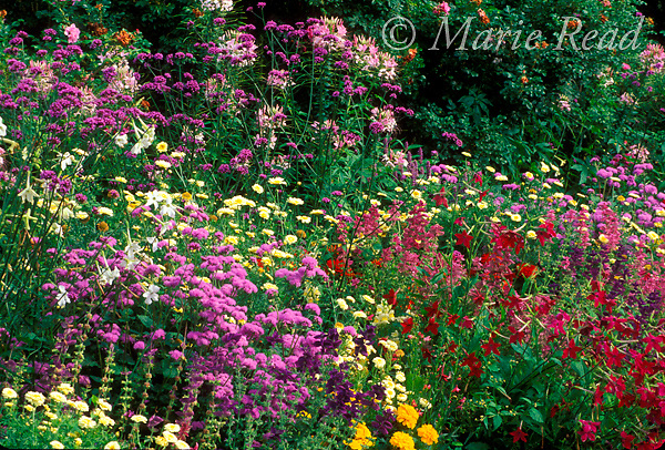 Summer garden flowers, including tansy, coreopsis, cleome, salvia, nicotiana, marigold, New York, USA<br /> Slide # GWF-14