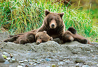 Sow coastal brown bear with her two spring cubs as they nap after nursing. Alaska Peninsula