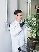 Tissue cutter technician Michael Colgan (cq) cuts explants before sanitizing and transplanting at the Stanley Brother's laboratory in Boulder, Colorado, Tuesday, September 23, 2014. The Stanley Brothers have developed a popular strain of marijuana that has been found to be helpful in reducing seizures. The marijuana high in CBDs and low in THC, the chemical which gets a person stoned.<br /> <br /> Photo by Matt Nager
