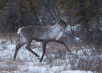 A Caribou near Glennallen, Alaska. Photo by James R. Evans