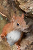 Europäisches Eichhörnchen, Jungtier an einer Baumhöhle, Sciurus vulgaris, European red squirrel, Écureuil d´Europe