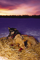 Iditarod sled dogs rest in straw beds at a checkpoint at sunset. Finger Lake, Alaska.