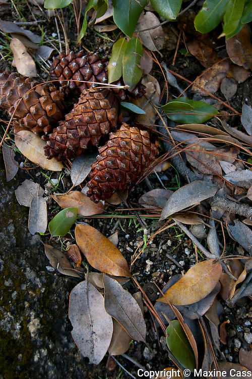 Pine cones still life, near Valley View, Yosemite National Park, California, United States of America