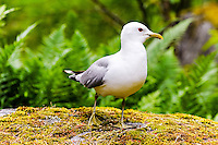 Sweden. Common Gull in the Stockholm Archipelago.
