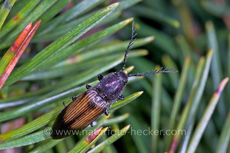 Kupferfarbener Kammhorn-Schnellkäfer, Ctenicera cuprea, Coppery Click Beetle, Schnellkäfer, Elateridae, Click beetles