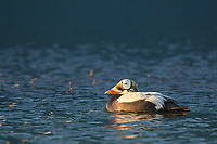 Male spectacled eider swims on a tundra pond on Alaska's arctic north slope.