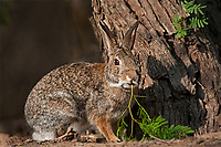 673280044 a wild desert cottontail rabbit sylvilagus audubonii on santa clara ranch hidalgo county rio grande valley texas united states