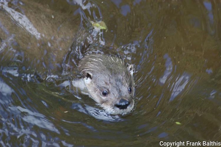 river otter swimming