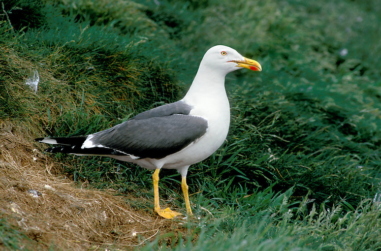 Lesser Black-backed Gull Larus fuscus L 53-56cm. Similar to Herring Gull but adult has dark grey back and upperwings and bright yellow legs. Note, confusion possible with adult Yellow-legged (upperparts paler). Sexes are similar. Adult in summer has dark grey back and upperwings. Black wingtips are darker than rest of upperwing except for white trailing edge; plumage is otherwise white. Bill is yellow with orange spot. Iris is yellow and orbital ring is red. In winter, similar but with streaks on head and neck, and duller leg and bill colours. Juvenile and 1st winter have streaked and mottled grey-brown plumage, palest on head. Upperwings dark brown and whitish tail is dark-tipped. Eye and bill are dark. Adult plumage acquired over 3 years. 2nd winter similar to 1st winter but with grey back, pinkish legs and dark-tipped pink bill; 3rd winter resembles heavily streaked winter adult. Voice Utters a distinctive kyaoo and anxious ga-ka-ka. Status Locally common in summer, nesting colonially on seacliffs and islands. Most migrate S to Mediterranean outside breeding season; small numbers remain, often roosting on reservoirs.