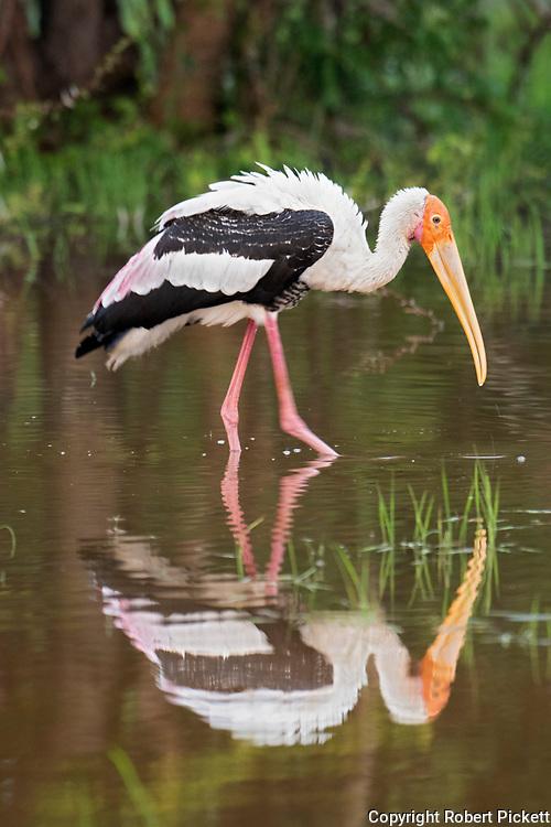 Painted Stork, Mycteria leucocephala, Dambulla Lake, Sri Lanka, fishing at waters edge with reflection