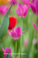 63821-22820 Red and pink tulips, Cantigny Park, Wheaton, IL
