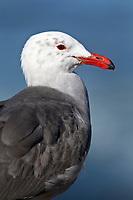 Heerman's Gull - Larus heermanni - winter adult