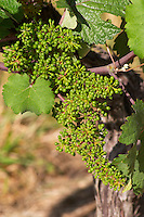 Unripe grapes. Chenin Blanc. Agricultural Research Institute (INRA, Institut Nationale de Recherche Agricole) in Angers (Beaucouze), Loire, France